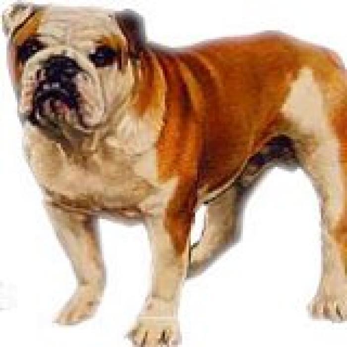 bulldog-08.jpg